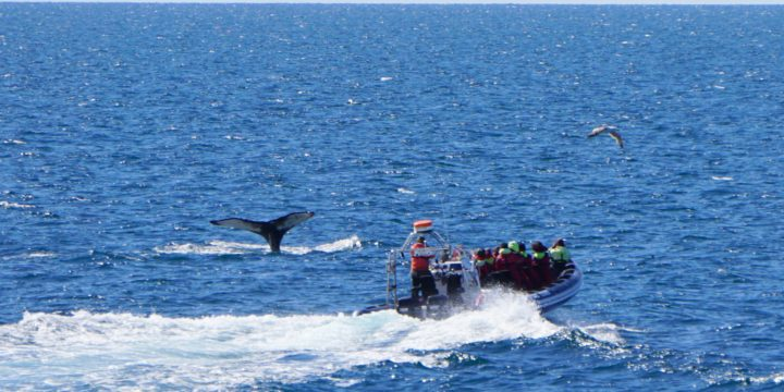 Iceland Whale Watching Review: Sea Trips Amelia Rose